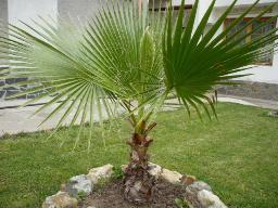палми Русе