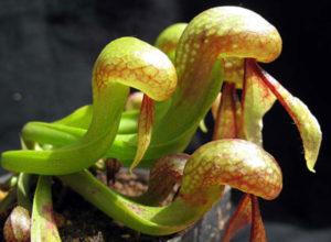 Дарлингтония ( Darlingtonia californica)