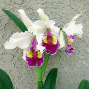 Орхидея Катлея Довиана