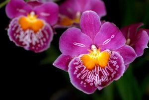 Орхидея Милтония